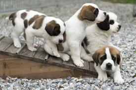 uatro cachorros de San Bernardo juegan en la Fundación Barry en Martigny - FOTO: EFE