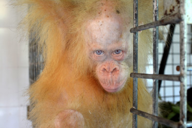 Fotografía facilitada por la Fundación para la Supervivencia del Orangután de Borneo  - FOTO: EFE