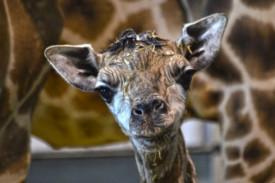 Imagen de la cría de jirafa Rothschild nacida en Bioparc - FOTO: BIOPARC