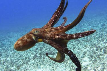 El pulpo, uno de los invertebrados marinos más populares