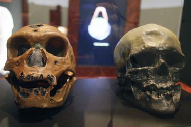 Los cráneos de un homo neanderthalensis (izqda), y un homo sapiens - FOTO: EFE