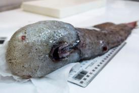 Imagen facilitada por Asher Flatt and Marine National de una de las mas de cien especies de peces recogidas de las profundidades oceánicas - FOTO: EFE