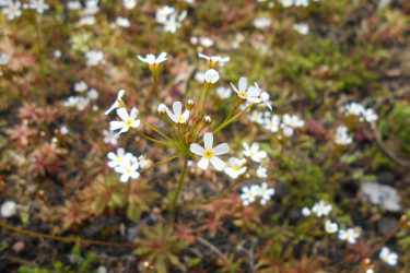 Androsace septentrionalis - FOTO: Salicyna