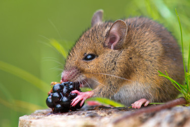 imagen de un ratón salvaje - FOTO: Bioenciclopedia