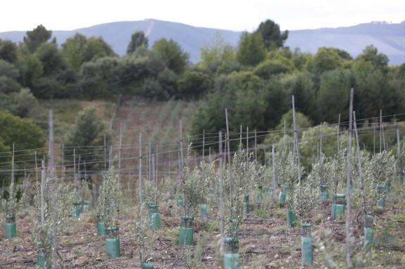 En la imagen, una finca ourensana con la plantación de olivos. - FOTO: LA REGIÓN