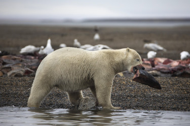 Un oso polar joven se alimenta con los restos de ballenas de Groenlandia cazadas legalmente durante la pesca anual de subsistencia que se realiza en la localidad de Kajtovik, - FOTO: EFE