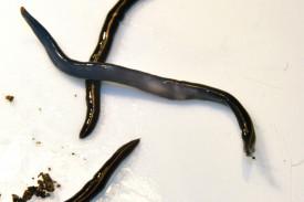 Planaria Caenoplana coerule
