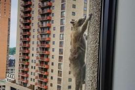 El mapache escalando el edificio de 25 plantas - FOTO: Twitter
