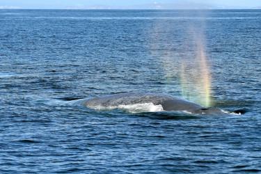 Ballenas azules en la costa gallega