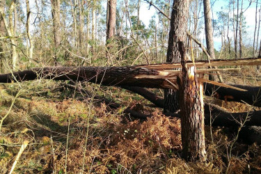 Árbores derrubadas en Boqueixón