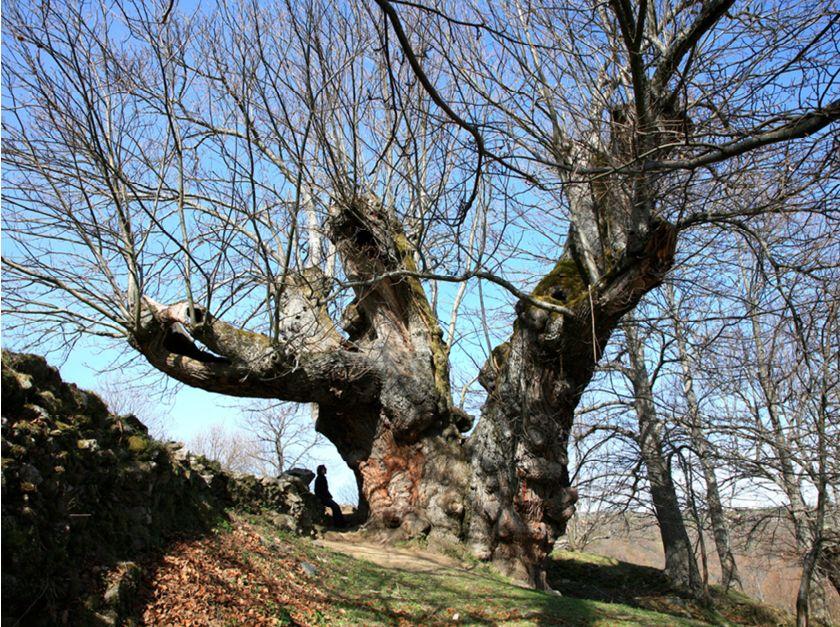 O castiñeiro de Pumbariños, en Manzaneda, ten máis de cincocentos anos. O seu perímetro de tronco é duns 12 metros. - FOTO: Guía de árbores Xunta de Galicia