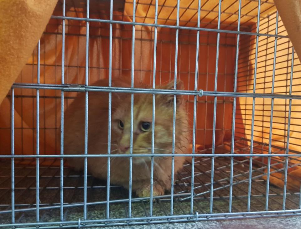 El famoso Geíño en su jaula, tras ser capturado, por fn, en el interior del viejo Xeral - FOTO: ECG